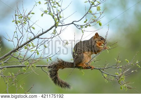 Hungry Pregnant Fox Squirrel With Teats Eating New Springtime Leaves On Tree Branch