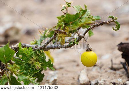 Devil's Apple Nightshade Fruit On Stem (solanum Linnaeanum), South Africa
