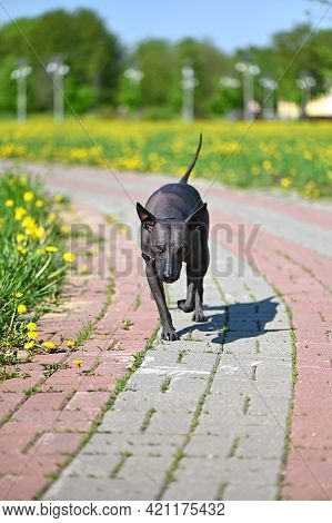 Charismatic Xoloitzcuintle (mexican Hairless Dog) Walking On Path Against Dandelion Field Background