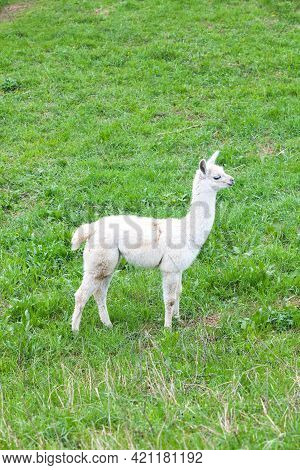 White Guanaco Baby On Green Grass