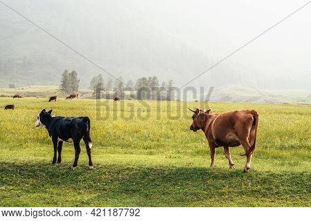 Beautiful Black White Young Calf And Brown Cow Grazing In Meadow In Mountain Countryside. Scenic Lan