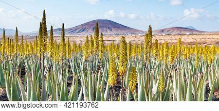 Aloe vera farm plantation aloe vera plants