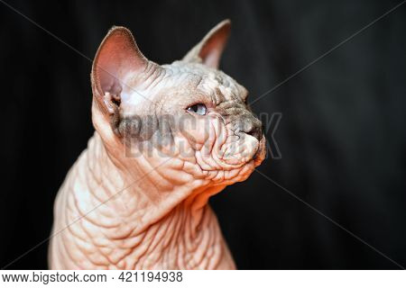 Close-up Portrait Of Canadian Sphynx Cat - Breed Of Cat Known For Its Lack Of Fur. Hairless Male Cat