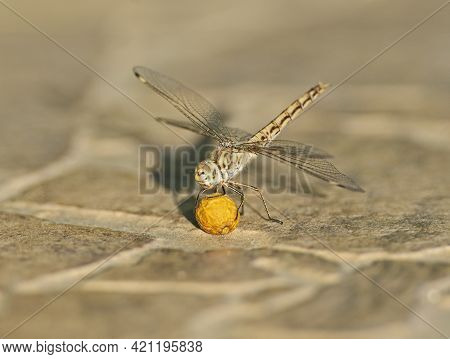 Closeup Macro Detail Of Wandering Glider Dragonfly Pantala Flavescens On Paving Stone Pathway With S