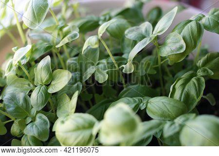 Green Basil Leaves In A Pot. Basil Leaves