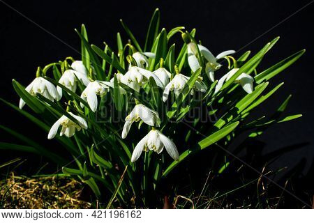 Close Up Of Common Snowdrop Flowers In The Spring Sun. Isolated On Black Background With Shallow Dep