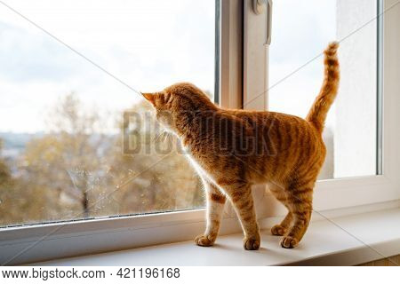 A Cute Ginger Tabby Cat Is On The Windowsill And Waiting For Something.
