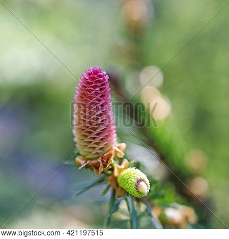 A Young Female Cone Of An Ordinary Spruce, It Is Pink And Its Scales Invitingly Open In Anticipation