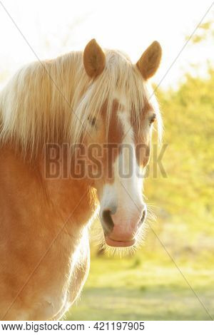 Handsome Belgian draft horse looking at the viewer, side lit by early morning sun, with a light softening filter for a dreamy look
