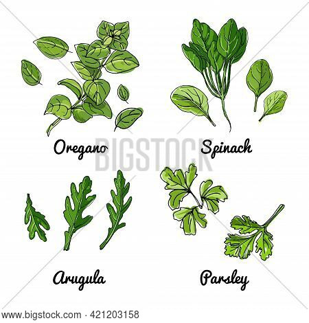Vector Food Icons Of Vegetables And , Herbs. Colored Sketch Of Food Products. Oregano, Spinach, Arug
