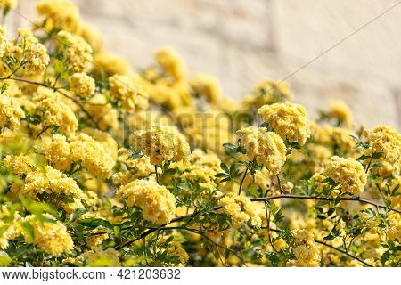 Bushes Of Yellow Flowers On The Background Of A Stone Wall For The Background (selective Focus)