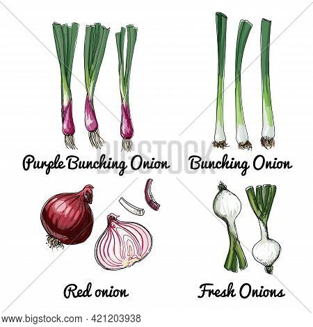 Onions. Vector Food Icons Of Herbs And Spices. Colored Sketch Of Food Products. Purple Bunching Onio