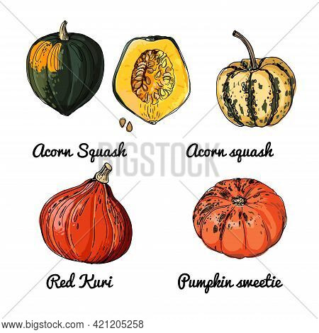 Pumpkin. Vector Food Icons Of Vegetables. Colored Sketch Of Food Products. Acorn Squash, Red Kuri, P