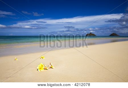 Plumeria Blossoms On Lanikai Beach, Oahu, Hawaii