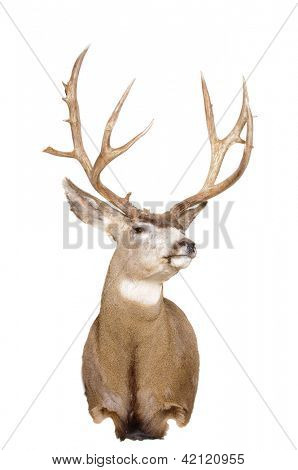 Odocoilus Hemionus, (Mule Deer) taxidermy mount isolated on white
