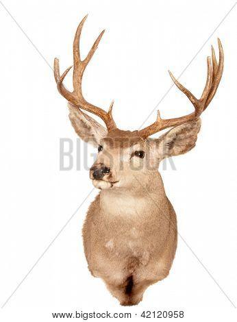 Odocoilus Hemionus, (Mule Deer) taxidermy mount isolated on white