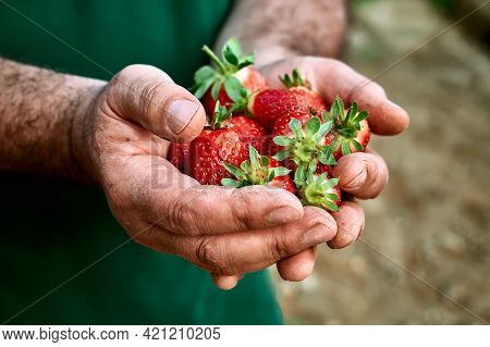 Fresh Red Ripe Bio Organic Strawberry In The Hands Of A Gardener. The Man Holds Freshly Picked Straw
