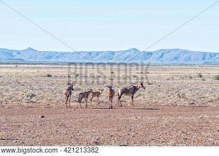 A Herd Of Tsessebe Near Beaufort West In The Western Cape Karoo