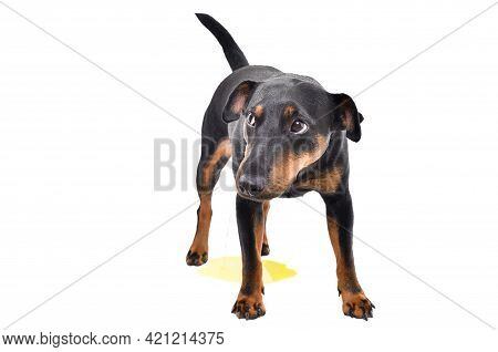 Dog Breed Jagdterrier Pissing On The Floor Isolated On White Background