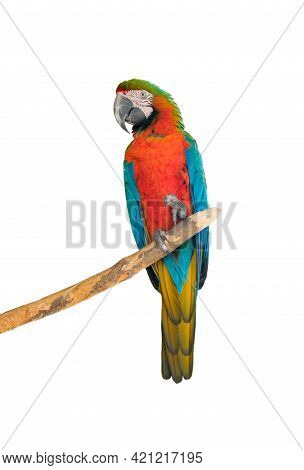 Big Beautiful Red Parrot Scarlet Macaw Ara Macao. Portrait Of A Parrot Isolated On A White Backgroun