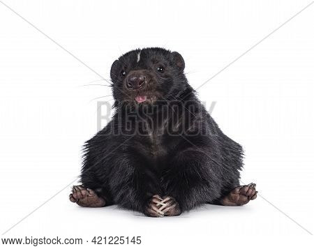 Funny Shot Of Cute Classic Black With White Stripe Young Skunk Aka Mephitis Mephitis, Sitting On Its