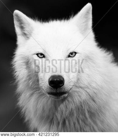 White Wolf On Black Background, Blue Eyes