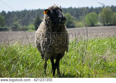 Ovis. An Up Close View Of A Sheep Head. Side View. Sheep In The Pasture. Home Animal. The Sheep Is G