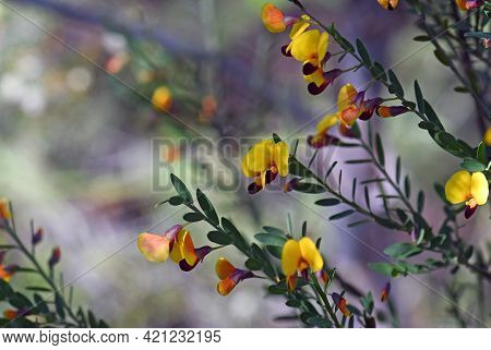 Yellow And Red Flowers Of The Australian Native Pea Bossiaea Heterophylla, Family Fabaceae, Growing