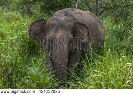 Wild Ceylon Elephant (elephas Maximus Maximus) In Thickets On A Sunny Day. Sri Lanka