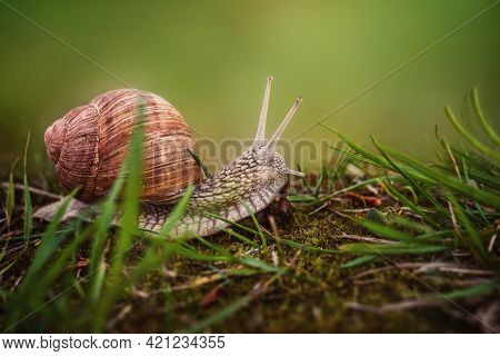 The Helix Pomatia Snail Crawls On The Ground With Green Grass.blurred Natural Green Background With