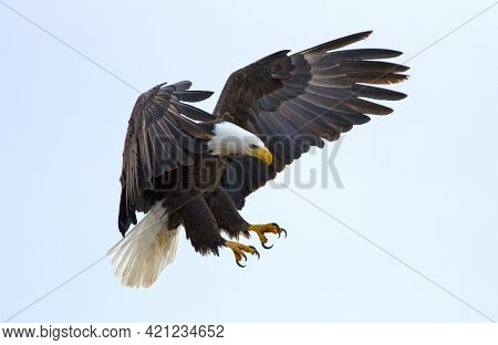 Eagle Landing On A Hill, Great Bearing And Appearance