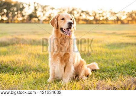 Dog Breed Golden Sitting In A Park Great Appearance