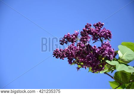 Spring Branch Of Blossoming Lilac Closeup. Beautiful Greeting Card With Violet Blooming Flowers Back