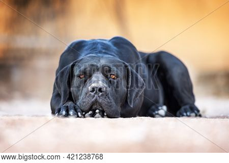 Black dog breed Cane Corso lies on the ground