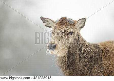 Close Up Of A Red Deer Having Recently Shed His Antlers, Uk.