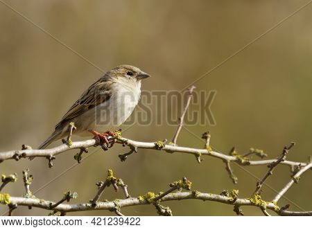 Portrait Of A House Sparrow Juvenile Perched On A Tree Branch, Uk.