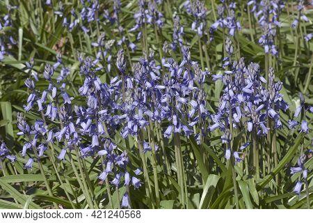 Group Of  Spanish Bluebell Flowers (hyacinthoides Hispanica).