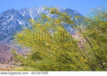 Palo Verde Tree Flower Blossoms During Spring With Mt San Jacinto Beyond Taken At A Garden In The Ru