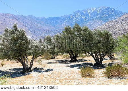 Rows Of Olive Trees On An The Arid Colorado Desert Plateau With Mt San Jacinto Beyond Taken At An Ol