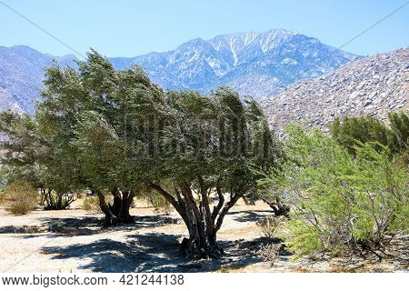 Rows Of Olive Trees On An Olive Plantation With Mt San Jacinto Beyond Taken At The Windswept Colorad