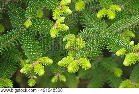 The Branch Of Fir-tree With Little Cones