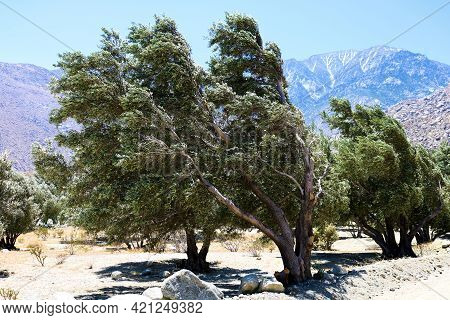 Rows Of Olive Trees On An Olive Grove Taken At The Rural Colorado Desert With Mt San Jacinto, Ca Bey