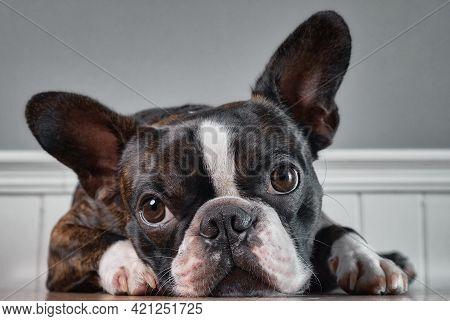 Portrait Boston Terrier Pure Breed Soft Grey Background Closeup