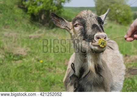 A Happy Goat Grazes In A Green Pasture And Sniffs A Dandelion Held Out To Her. Portrait Of A Domesti