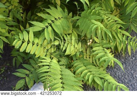 Green Leaves Mountain Ash Mountain Ash Leaf Sorbaria In Summer