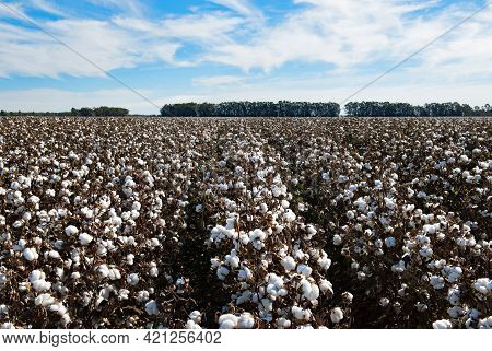 Cotton Ready For Harvest, Near Griffith, In New South Wales, Australia