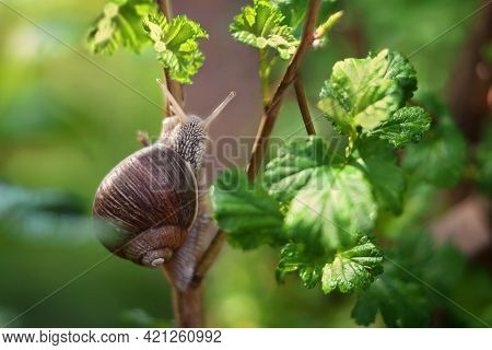 A Snail Crawls On A Branch With Green Leaves On A Green Background. Bright Sunny Day