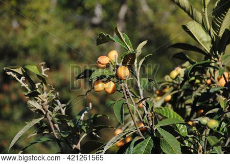 A Picture Of Orange Color Fruits Growing On A Tree, Picture Taken In A Garden In Southern California