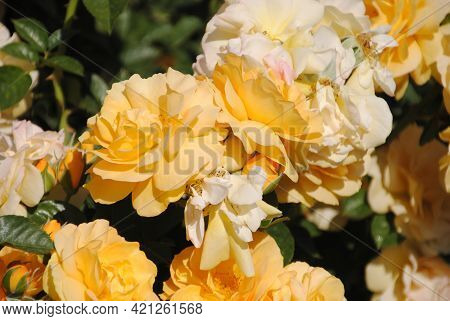 A Picture Of Yellow Flowers, Picture Taken In A Garden In Southern California.
