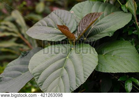 Silvery Green Big Leaves With Visible Veins.